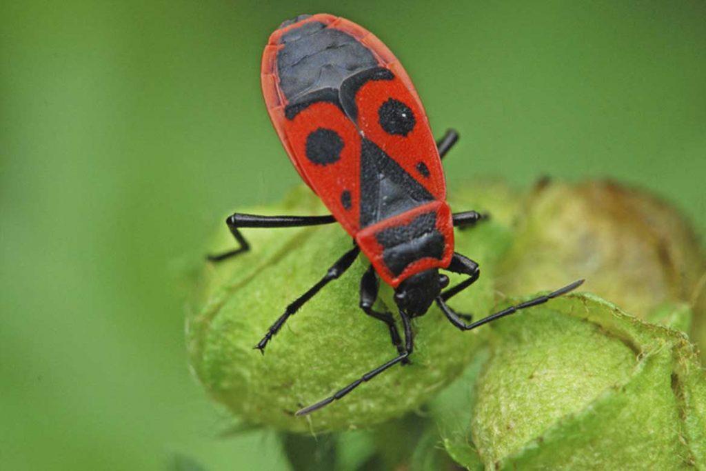 Клоп солдатик фото жука описание способы избавления на офощас