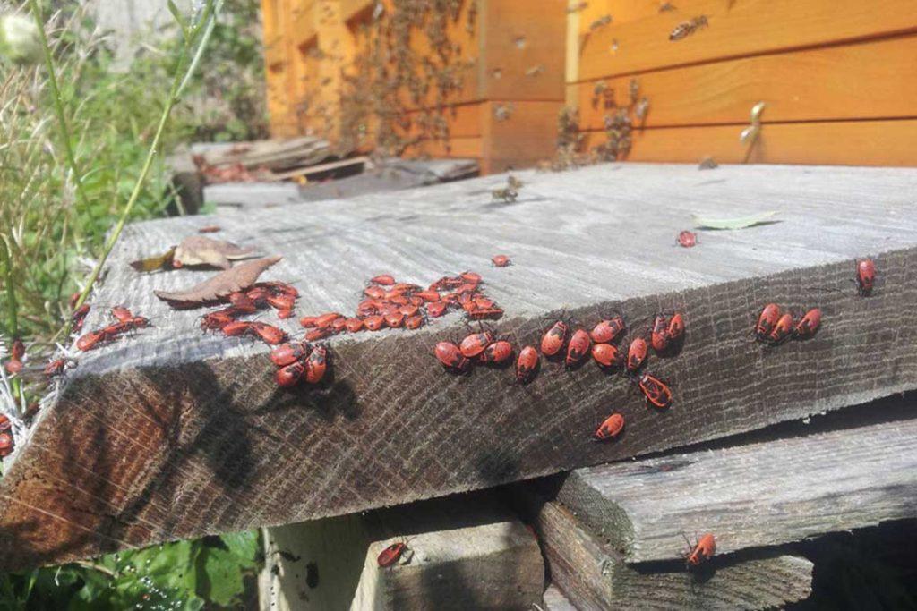 Клоп солдатик фото жука описание способы избавления в доме
