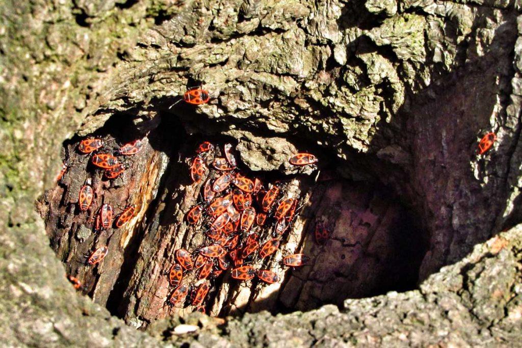 Клоп солдатик фото жука описание способы избавления пень