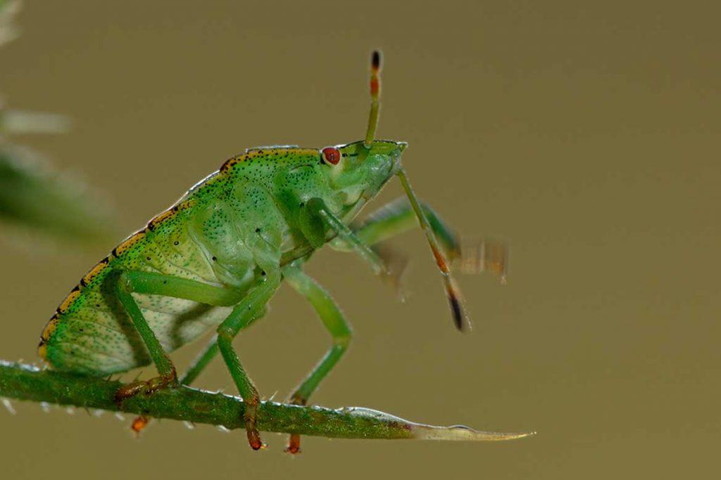Клоп вонючка фото описание чем питаются как избавиться зеленый клоп