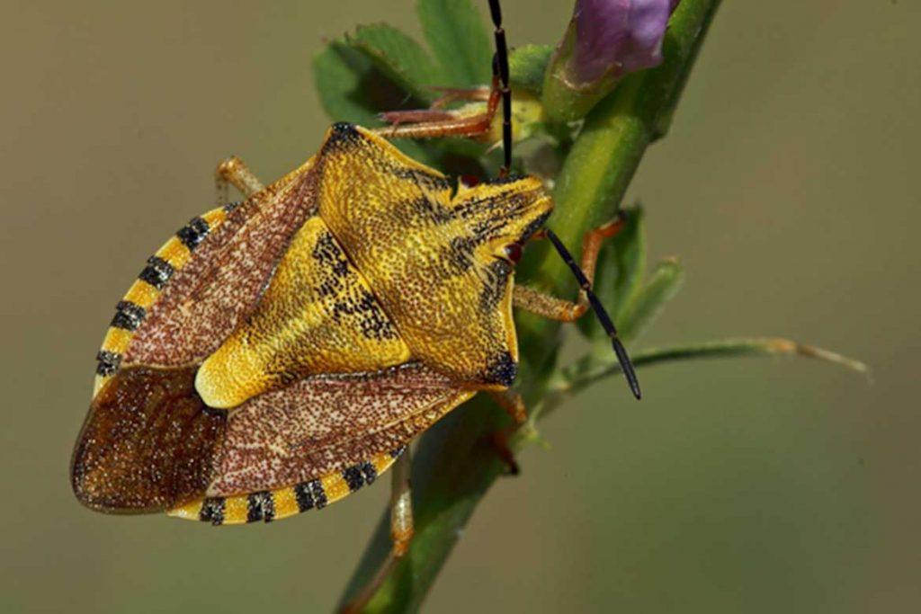 Клопы щитники описание насекомого виды среда обитания и как от них избавиться ягодный
