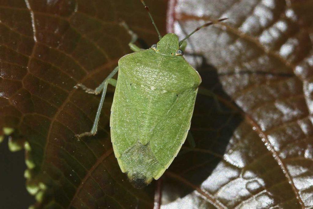 Клопы щитники описание насекомого виды среда обитания и как от них избавиться зеленый