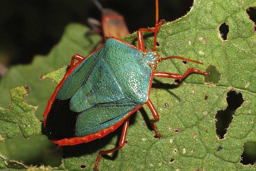 Клопы щитники описание насекомого виды среда обитания и как от них избавиться зеленый с красным