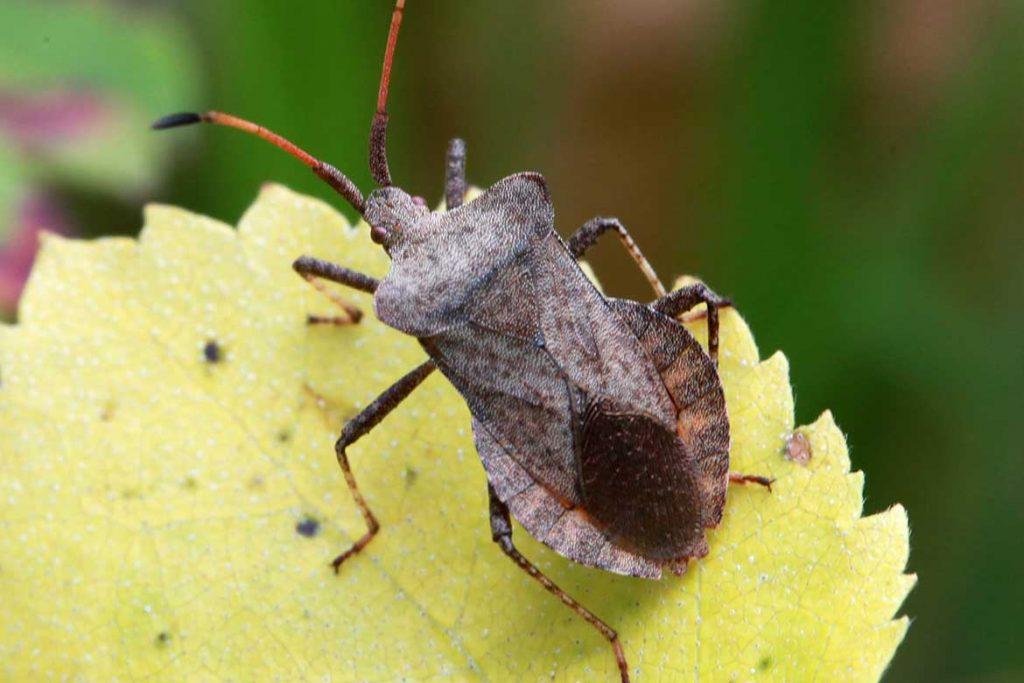 Клопы щитники описание насекомого виды среда обитания и как от них избавиться лиственный щитник