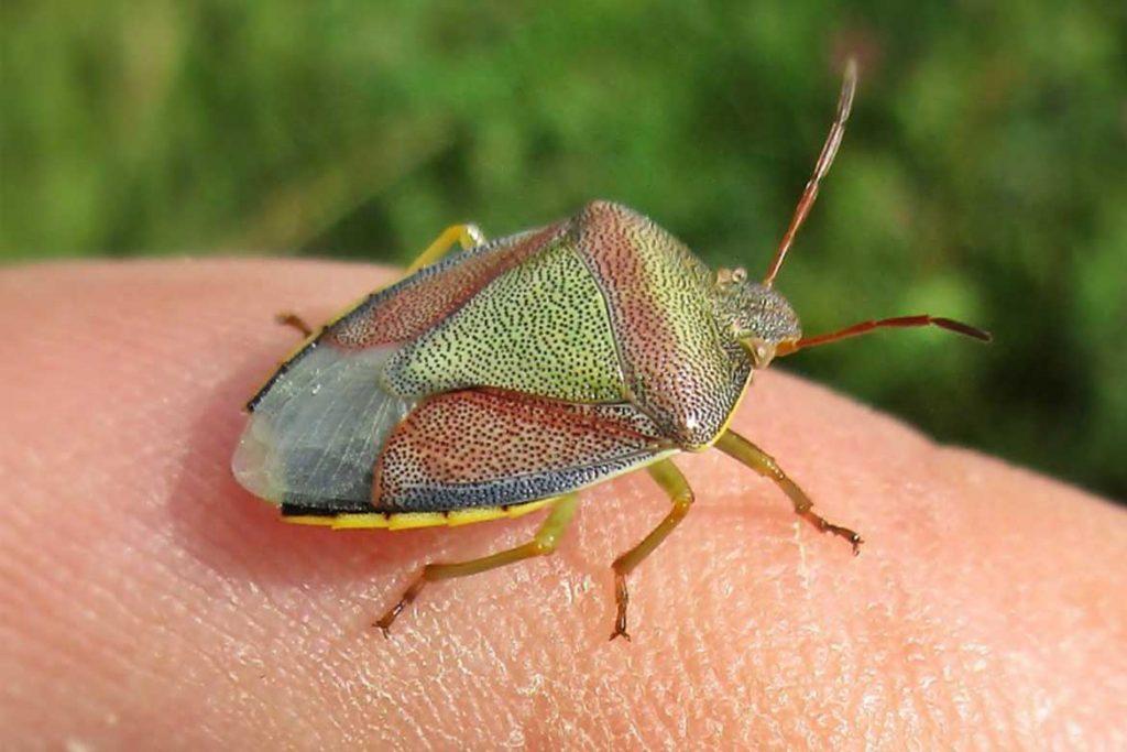 Клопы щитники описание насекомого виды среда обитания и как от них избавиться древесный