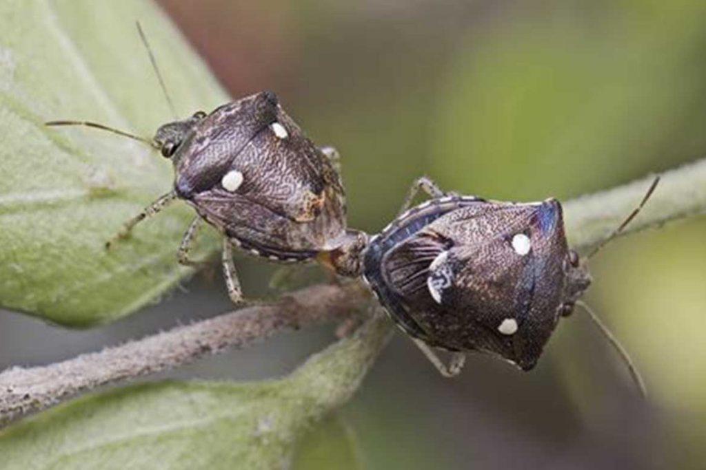 Клопы щитники описание насекомого виды среда обитания и как от них избавиться спаривание