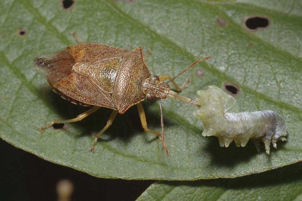 Клопы щитники описание насекомого виды среда обитания и как от них избавиться гусеница