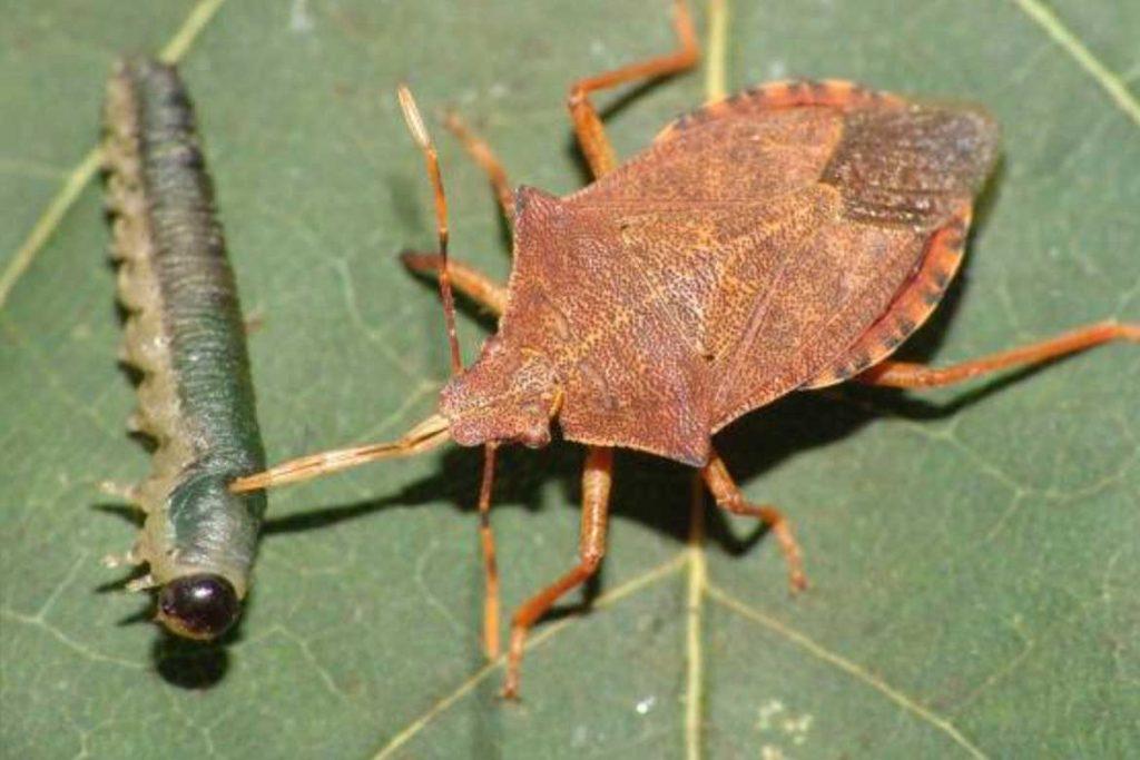 Клопы щитники описание насекомого виды среда обитания и как от них избавиться питание