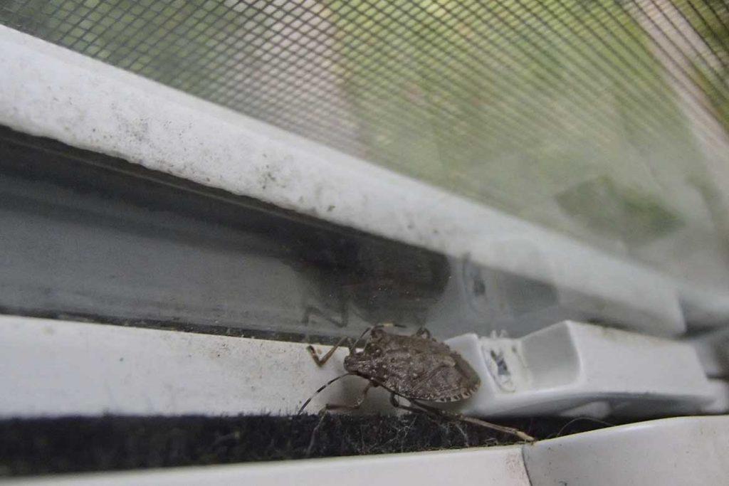 Клопы щитники описание насекомого виды среда обитания и как от них избавиться в окне