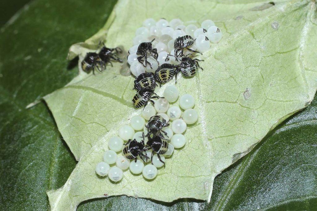 Лесные клопы фото как выглядят чем питаются и как избавиться от них личинки