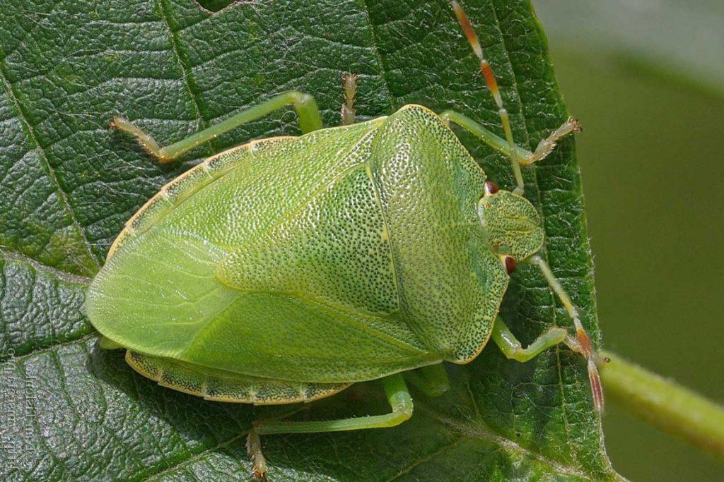 Садовые клопы подробно о вредных и полезных насекомых с фото и как от них избавиться зеленый лесной щитник
