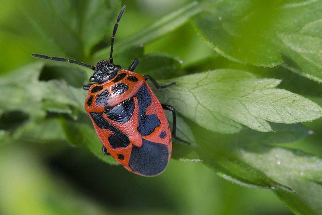 Садовые клопы подробно о вредных и полезных насекомых с фото и как от них избавиться эфридема северная