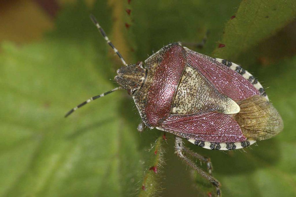 Садовые клопы подробно о вредных и полезных насекомых с фото и как от них избавиться ягодный клоп