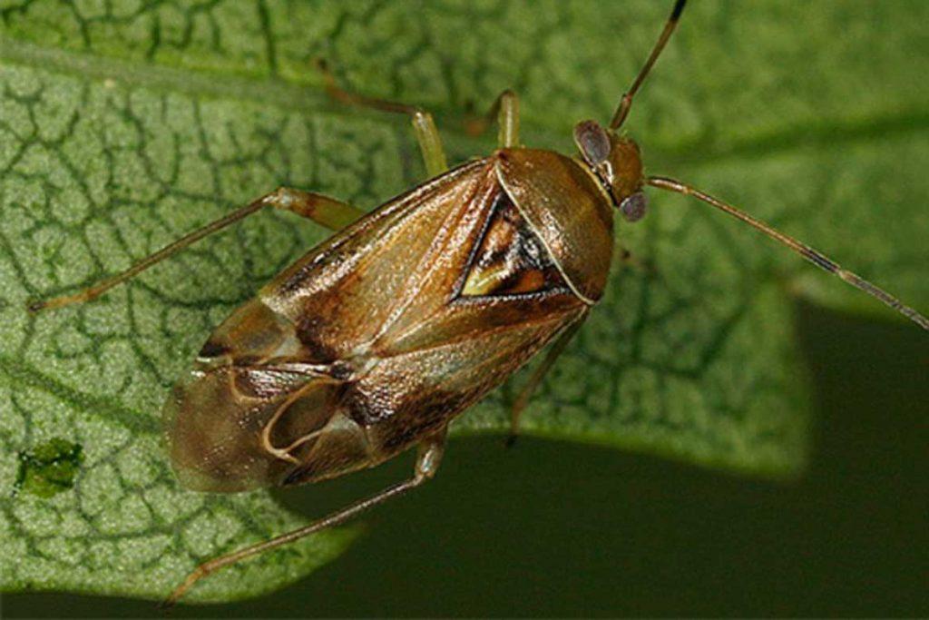 Садовые клопы подробно о вредных и полезных насекомых с фото и как от них избавиться огуречный клоп