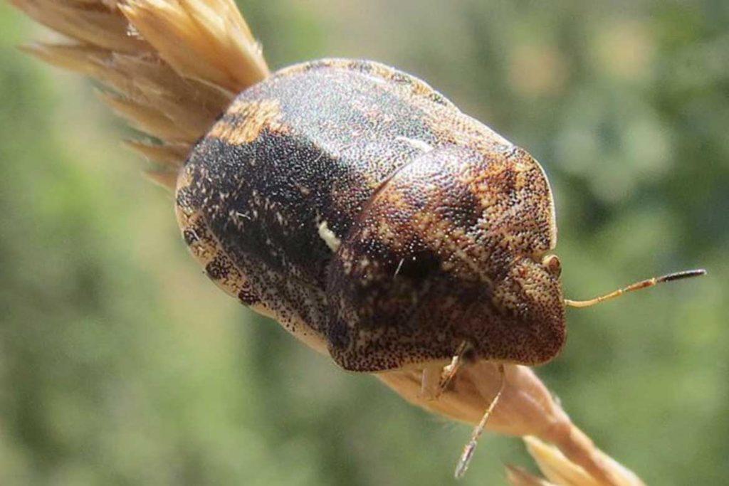 Садовые клопы подробно о вредных и полезных насекомых с фото и как от них избавиться вредная черепашка