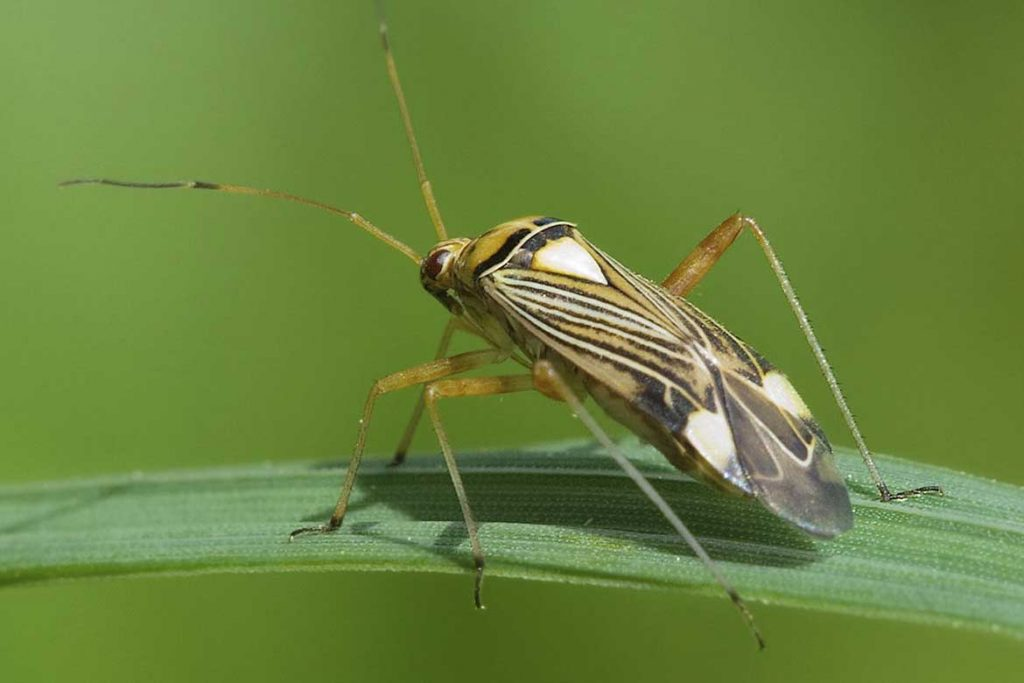 Садовые клопы подробно о вредных и полезных насекомых с фото и как от них избавиться слепняк