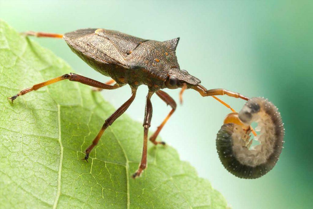 Садовые клопы подробно о вредных и полезных насекомых с фото и как от них избавиться пикромерус