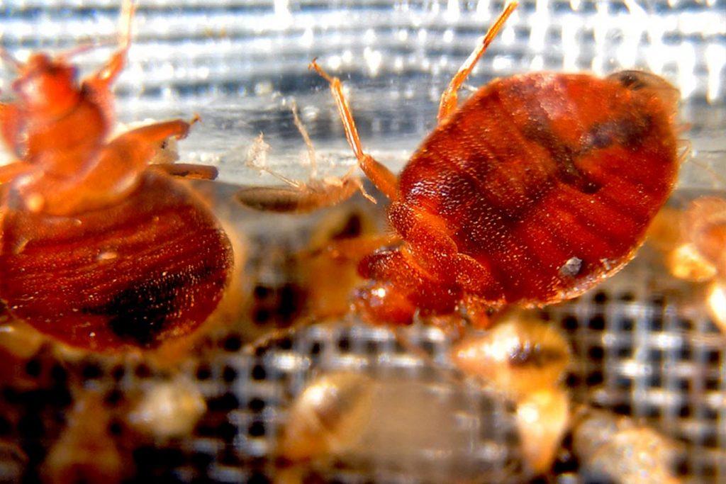 Уничтожение клопов горячим туманом принцип действия отзывы потребителей действие на насекомых