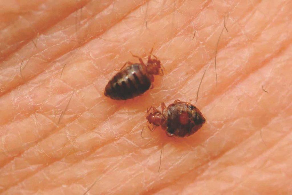 Чем опасны клопы для человека страшные болезни от паразитов смертельно
