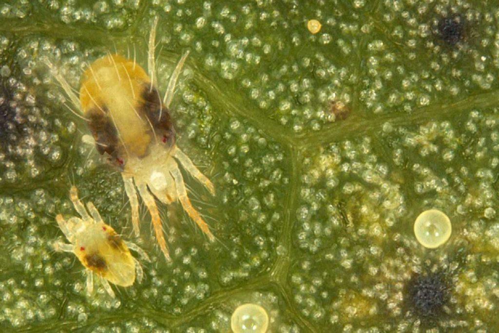 10 фото клещей белого цвета паутинный клещ строение тела