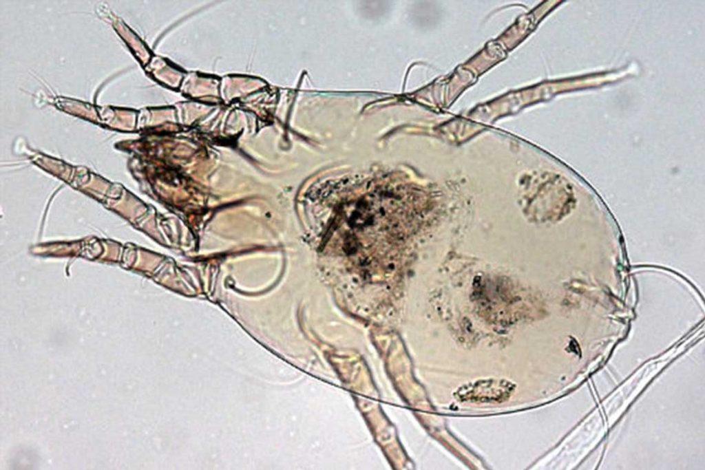10 фото клещей белого цвета пылевой клещ под микроскопом