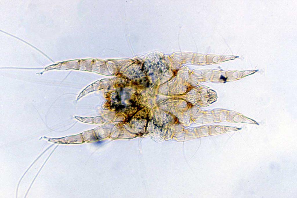 10 фото клещей белого цвета Ушной клещ почти прозрачный