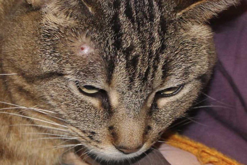 10 лучших способов как вытащить клеща у кошки в домашних условиях – советы ветеринара болезни