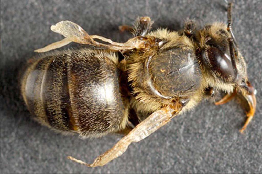 4 способа как лечить пчел от клеща Варроа темные пятна