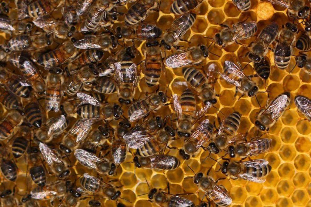 4 способа как лечить пчел от клеща Варроа осмотр