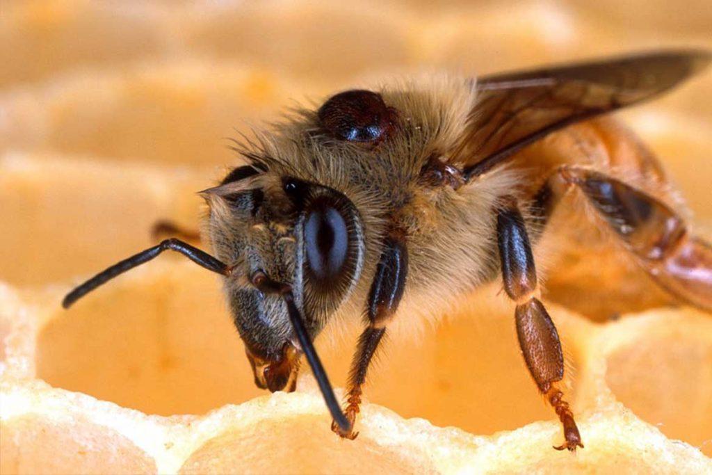 4 способа как лечить пчел от клеща Варроа профилактика
