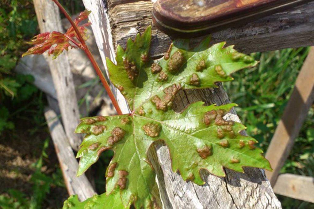 5 видов виноградного клеща степень заражения