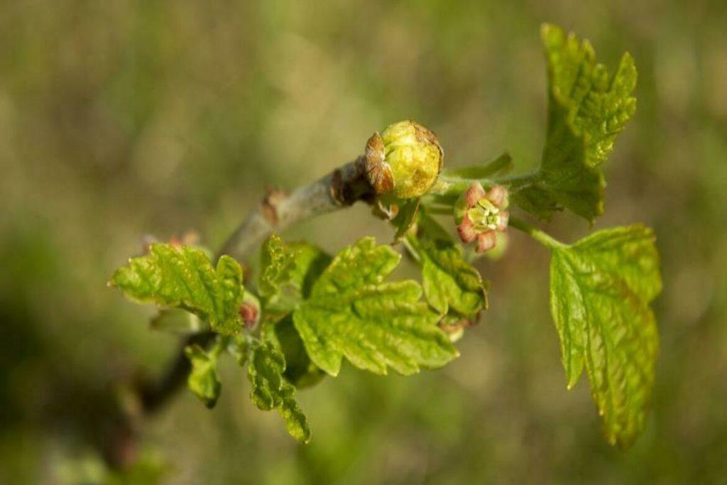 5 видов виноградного клеща (зудень) – методы борьбы, препараты, отзывы агрономов и садоводов почковый