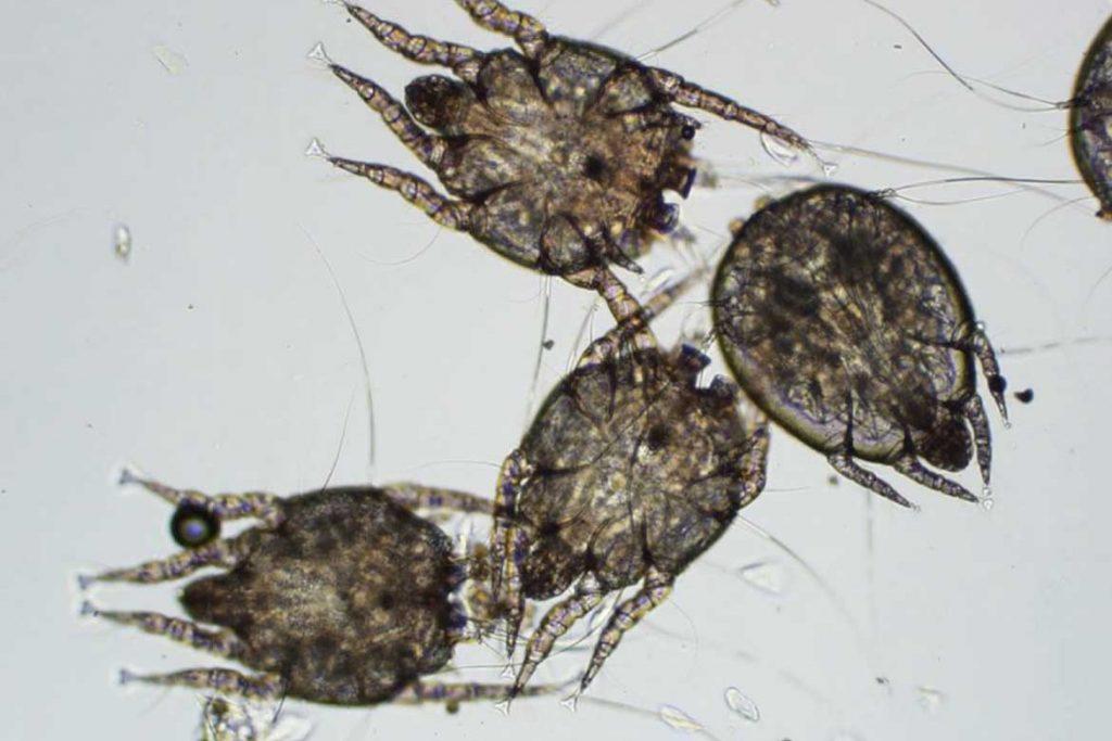 7 видов клещей паразитирующих на животных описание фото как от них избавиться Хориптоидные клещи