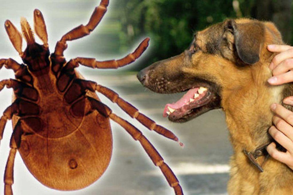 7 видов клещей паразитирующих на животных описание фото как от них избавиться Бабезиоз (пироплазмоз)