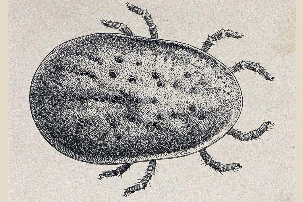 Аргасовые клещи (Argasidae) – 10 фото как выглядят укусы опасность для человека вред животноводству и как избавиться раз и навсегда ноги