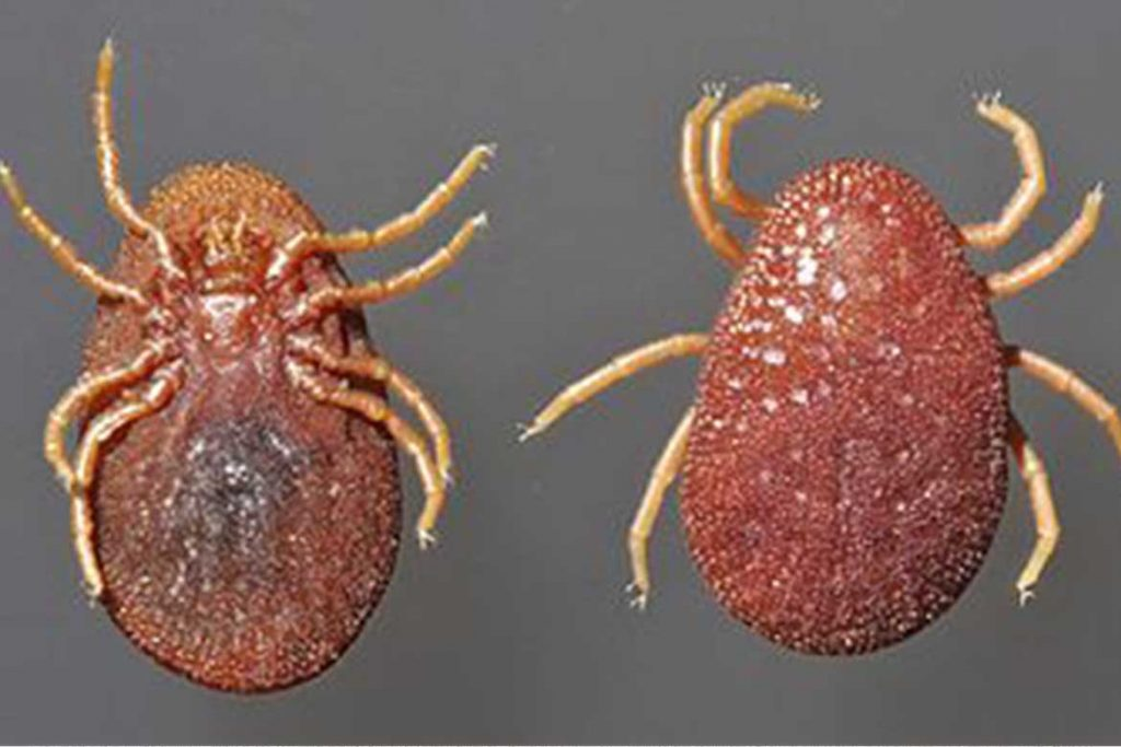Аргасовые клещи (Argasidae) – 10 фото как выглядят укусы опасность для человека вред животноводству и как избавиться раз и навсегда цвет