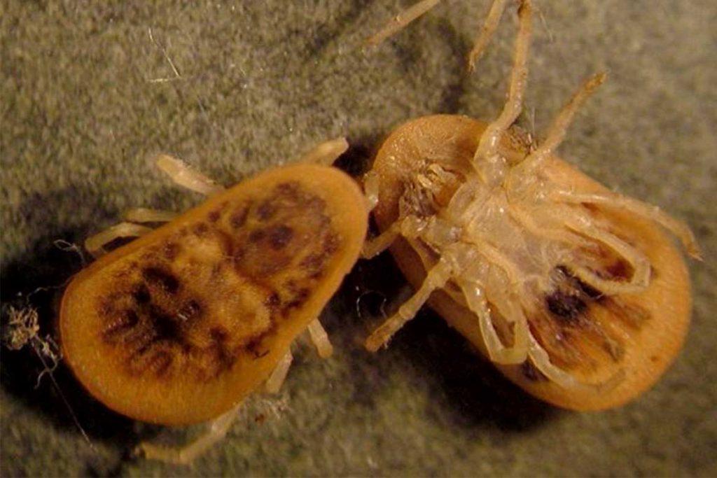 Аргасовые клещи (Argasidae) – 10 фото как выглядят укусы опасность для человека вред животноводству и как избавиться раз и навсегда Персидский клещ или малэ (Argas persicus)