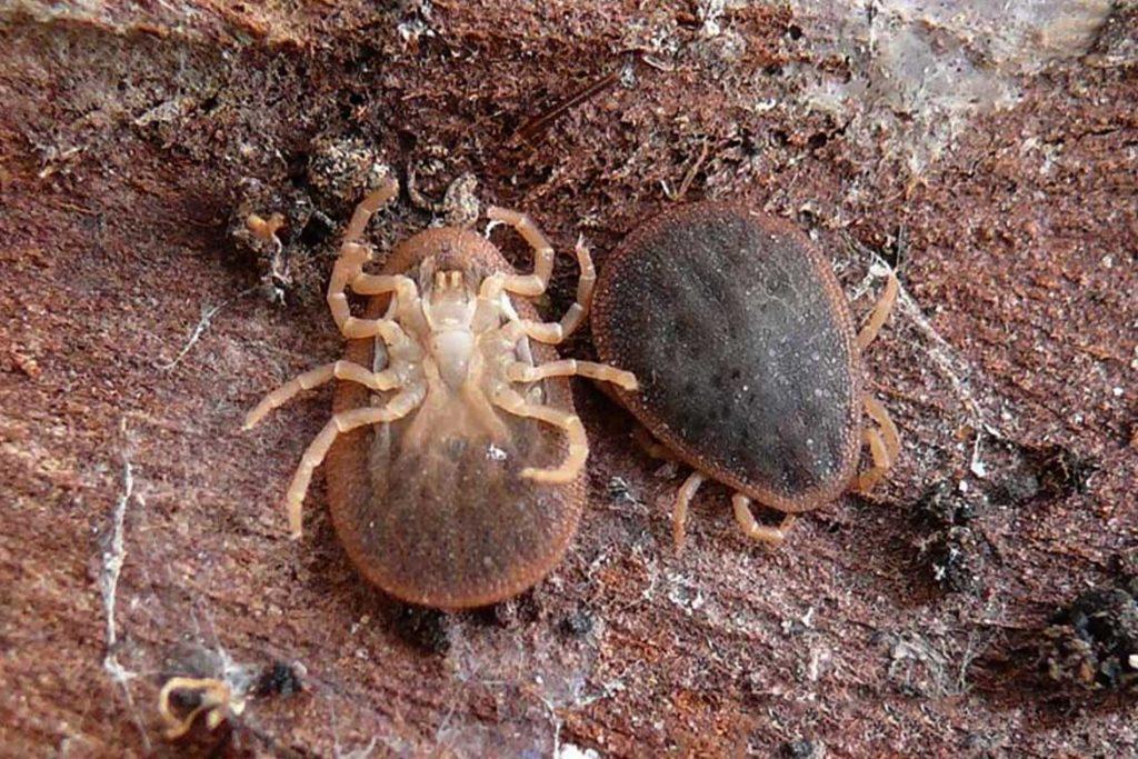 Аргасовые клещи (Argasidae) – 10 фото как выглядят укусы опасность для человека вред животноводству и как избавиться раз и навсегда Раковинный клещ (Argas reflexus)
