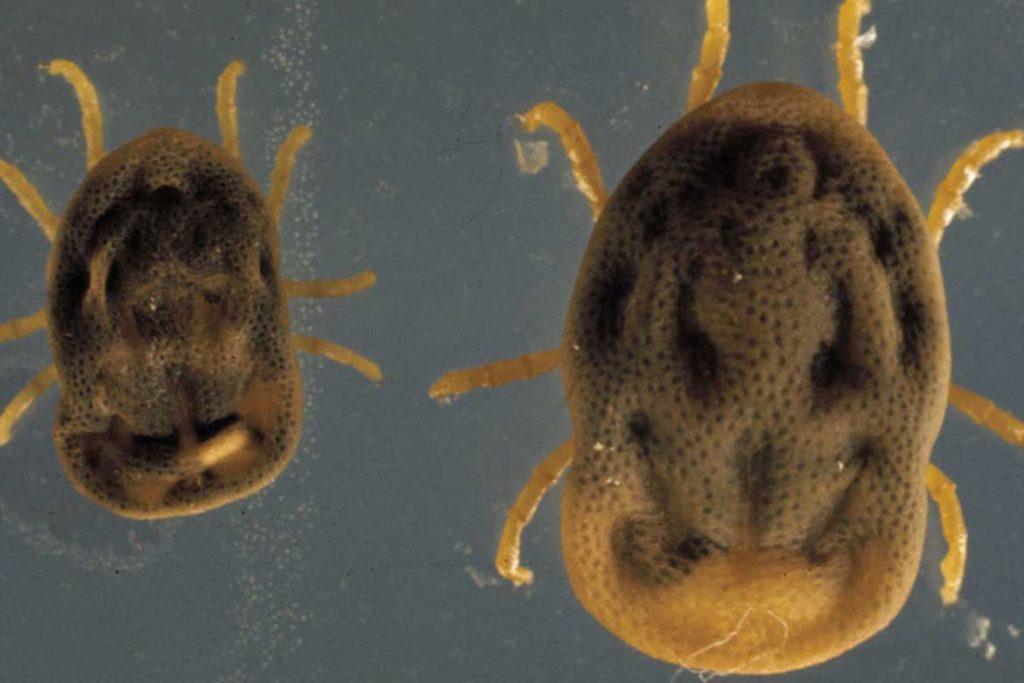 Аргасовые клещи (Argasidae) – 10 фото как выглядят укусы опасность для человека вред животноводству и как избавиться раз и навсегда переждать