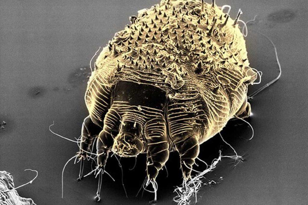 Чесоточный клещ Sarcoptes scabiei возбудитель чесотки как выглядит симптомы как поставить диагноз и как лечить в домашних условиях под микроскопом