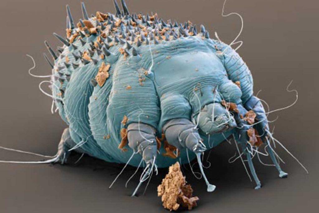 Чесоточный клещ Sarcoptes scabiei возбудитель чесотки как выглядит симптомы как поставить диагноз и как лечить в домашних условиях присоски на ногах