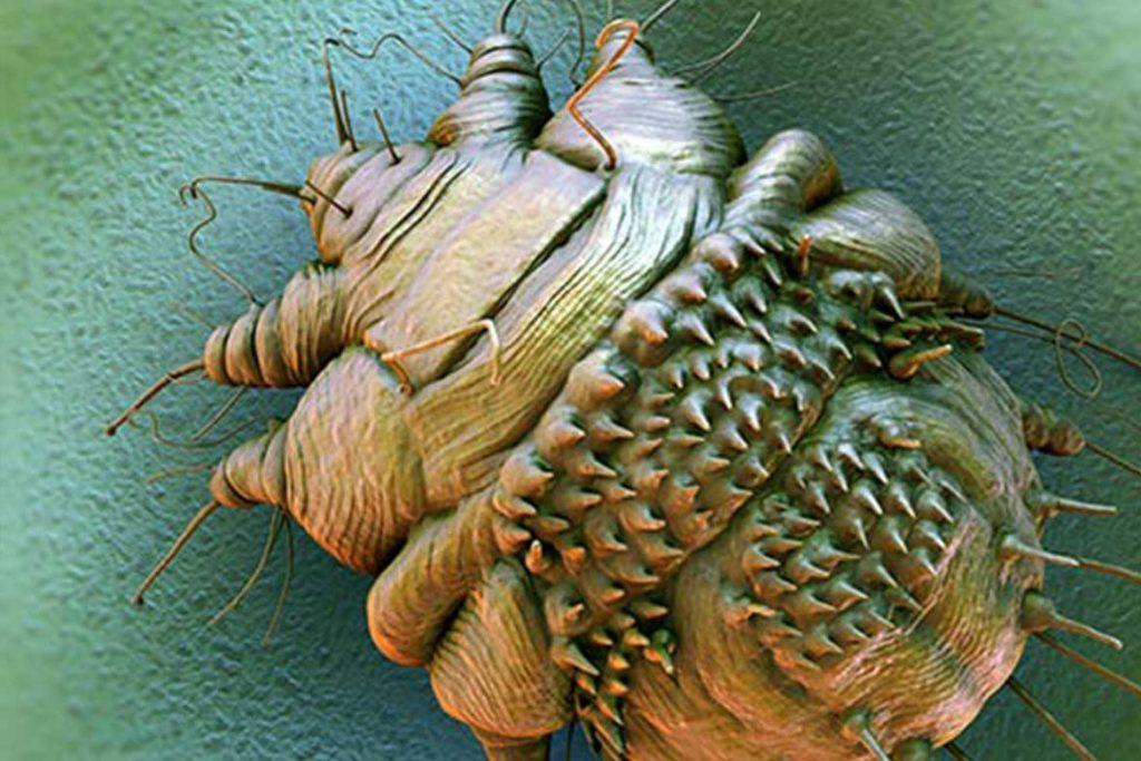 Чесоточный клещ Sarcoptes scabiei возбудитель чесотки как выглядит симптомы как поставить диагноз и как лечить в домашних условиях модель