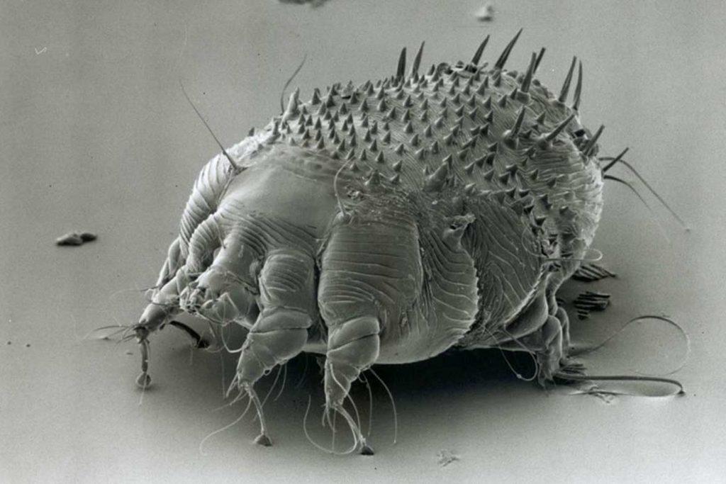 Чесоточный клещ Sarcoptes scabiei возбудитель чесотки как выглядит симптомы как поставить диагноз и как лечить в домашних условиях заразна
