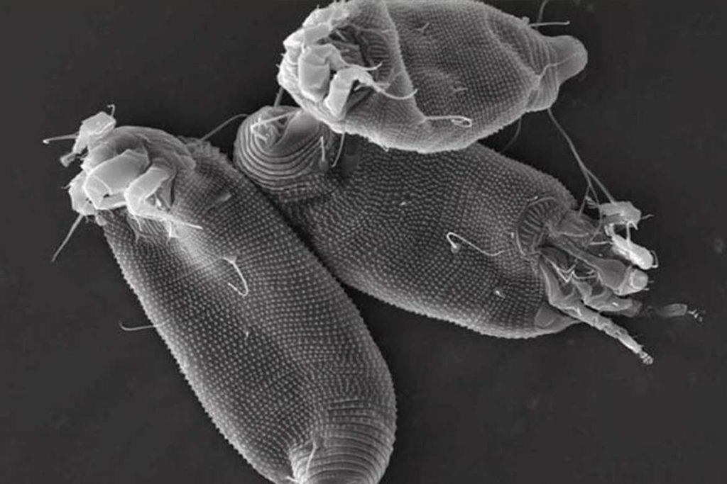 Галловый клещ – как выглядят галлы фото под микроскопом
