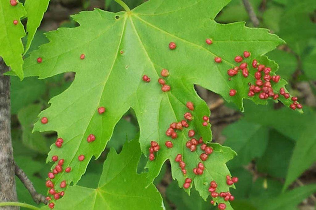 Галловый клещ – как выглядят галлы на кленовых листьях