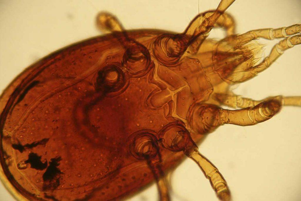 Гамазовые клещи (Gamasina) – чужой паразит несёт опасность для человека лапы