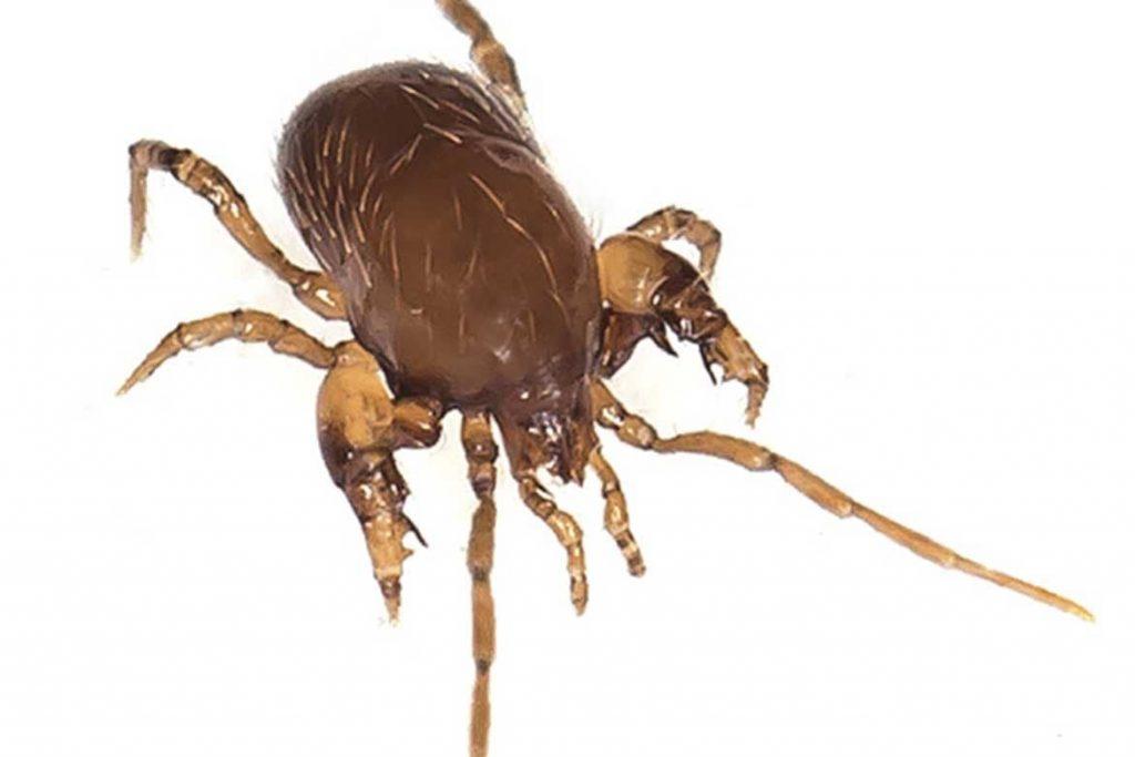 Гамазовые клещи (Gamasina) – чужой паразит несёт опасность для человека паразитирование