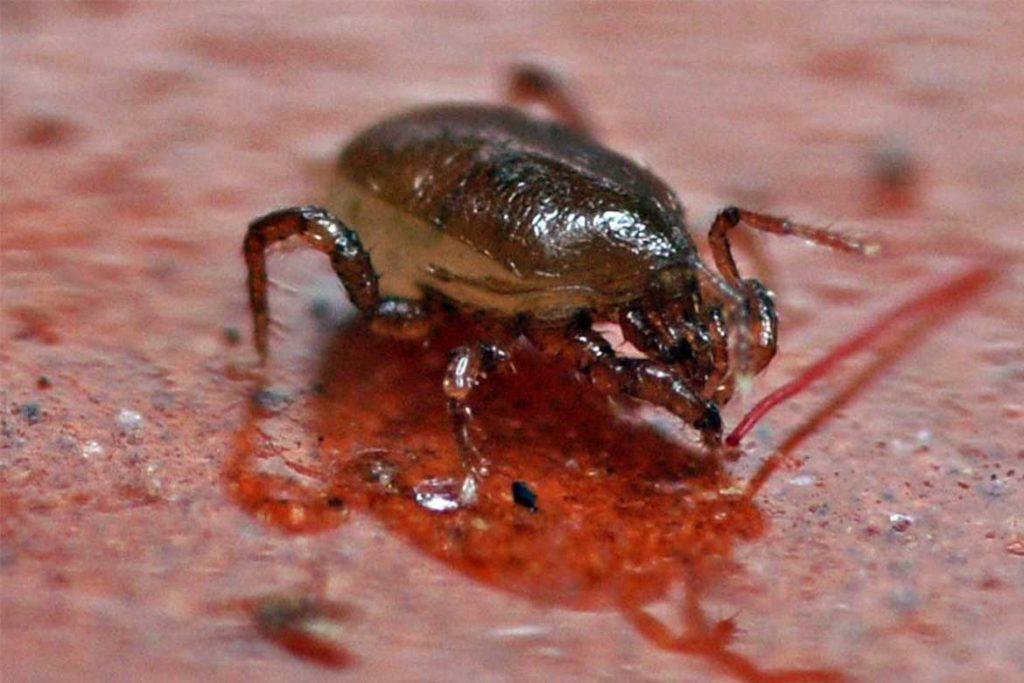 Гамазовые клещи (Gamasina) – чужой паразит несёт опасность для человека временное паразитирование