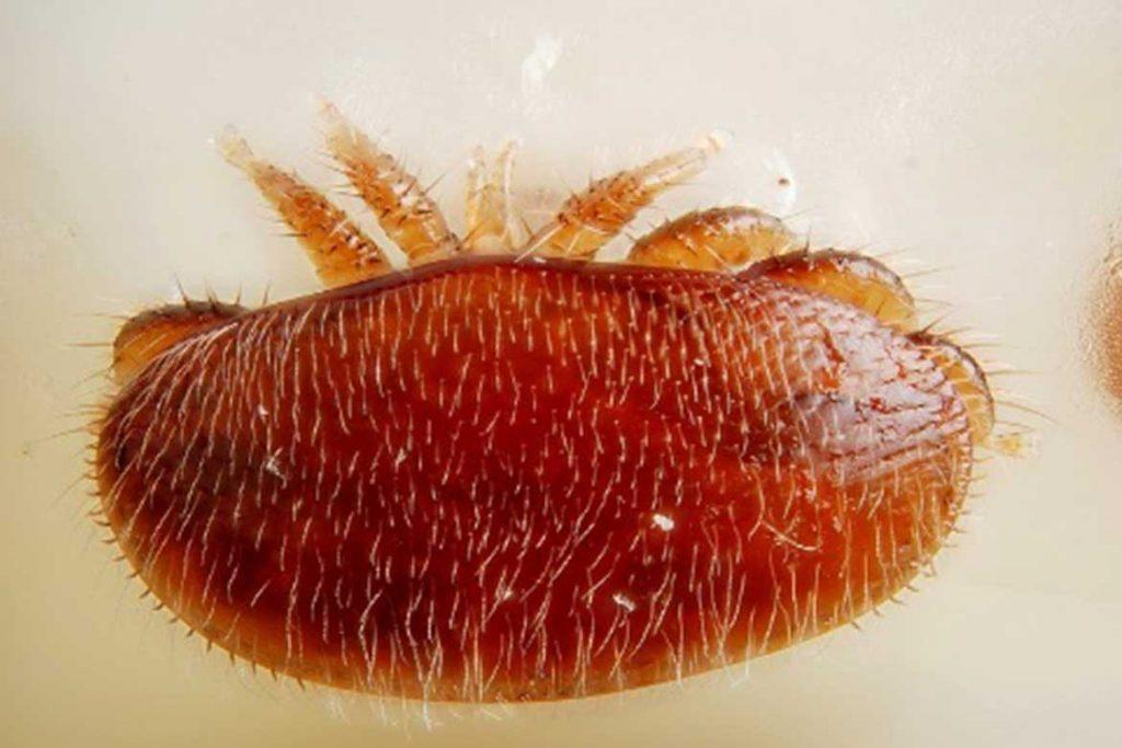 Гамазовые клещи (Gamasina) – чужой паразит несёт опасность для человека постоянное паразитирование