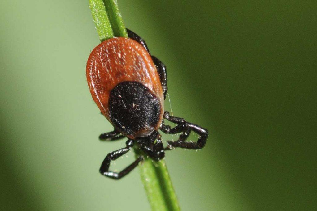 Иксодовые клещи – 10 фото описание жизненный цикл среда обитания какие болезни передают Первая помощь при укусах щиток на спине